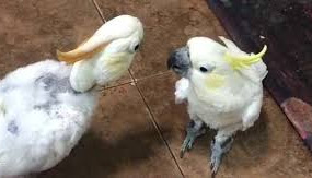 Cockatoos hold hilarious beak to beak conversation