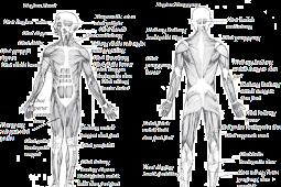 Otot Sebagai Alat Gerak Aktif Pada Manusia