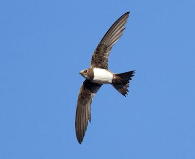 Burung Alpine