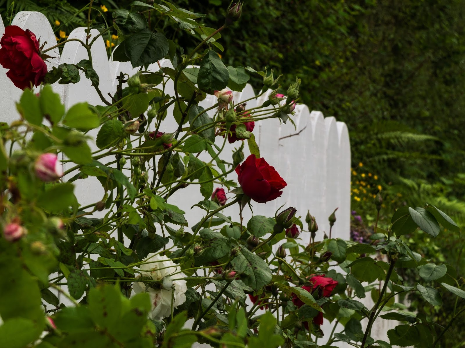 Red and White rose bush with a white scalloped fence in the garden.