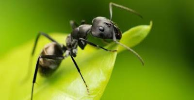 ¿Las hormigas son plagas?
