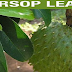 A Helpful And Natural Way To Cure Diabetes With The Benefits Of Soursop Leaves!