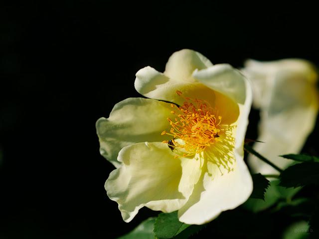 Rosa bianca su sfondo nero