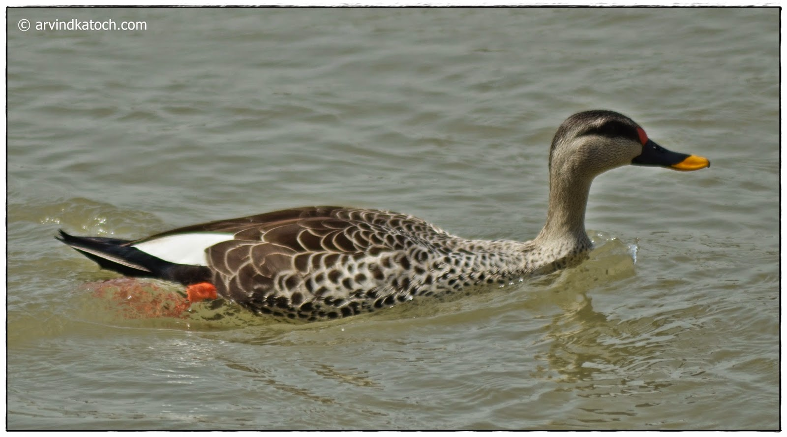 Male, Spot-billed Duck, Duck