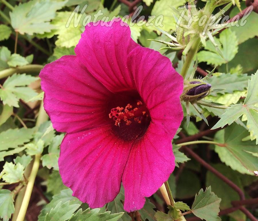 Vista de la flor de la planta ornamental Hibiscus radiatus