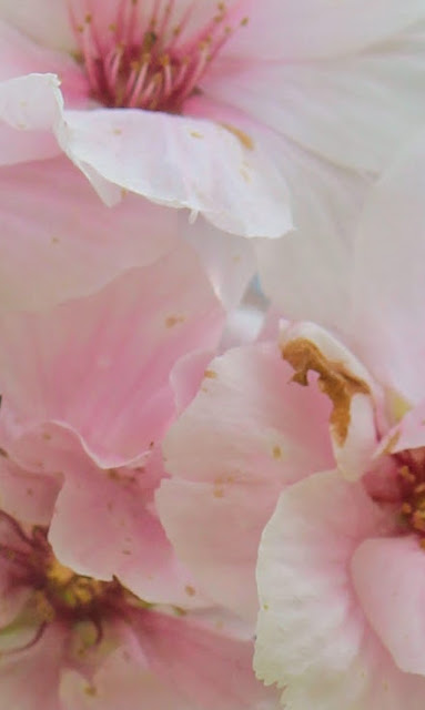 Photo sakura - cherry blosom