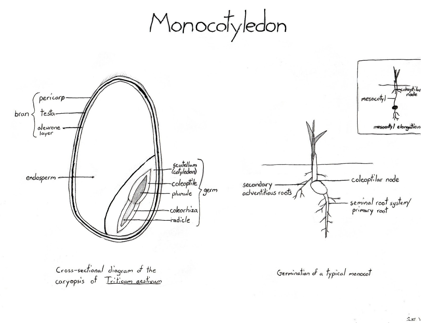 monocot seed and germination science seed germination diagram monocot germination [ 1600 x 1228 Pixel ]