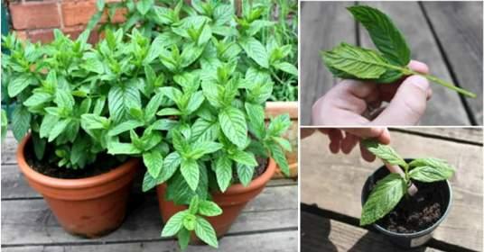 grow mint