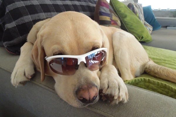 Labrador sunglasses