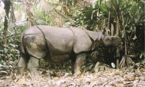 Los rinocerontes de Java enfrentados a múltiples riesgos