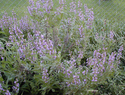 culinary sage, Salvia officinalis