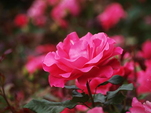 Roser i Kongefamiliens have på Øland