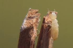 Las termitas, el mayor enemigo de la flota de guerra española del siglo XIX