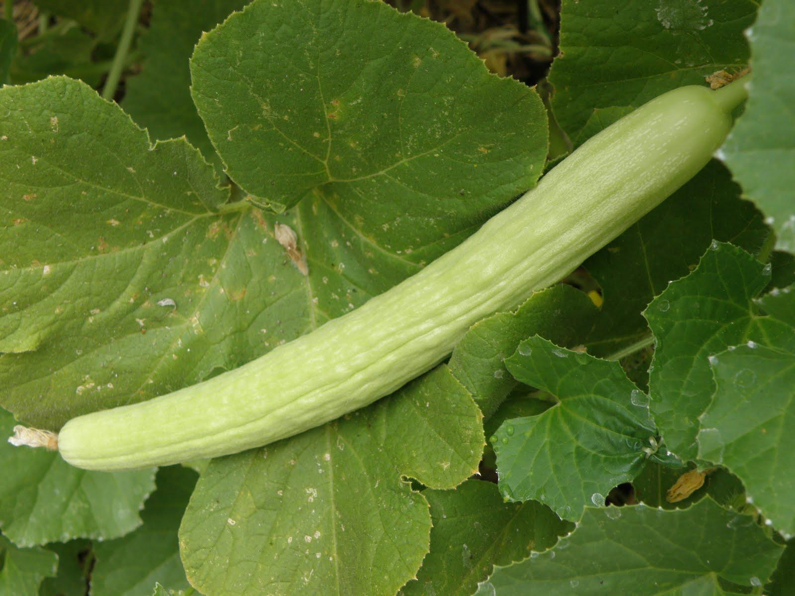 cucumber sex pictures
