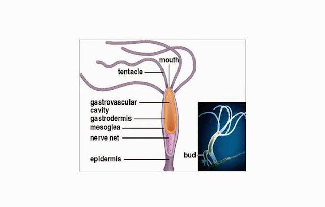 Pengertian, Struktur Tubuh, Ciri dan Klasifikasi Coelenterata
