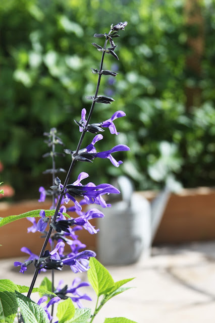 gardening, black and blue salvia, Anne Butera, My Giant Strawberry