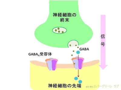 ベンゾジアゼピン系薬の作用機序 神経終末 GABA受容体 イラスト 睡眠薬はどうして効くのか