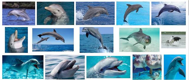 lumba Hidung botol Yang Belum Banyak Diketahui Fakta menarik perihal lumba-lumba Hidung botol Yang Belum Banyak Diketahui