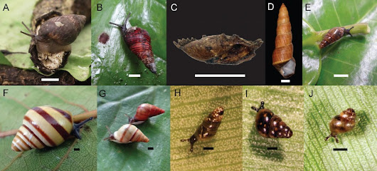 Update on the status of the remaining Hawaiian land snail species Part 2: Amastridae and Achatinellidae