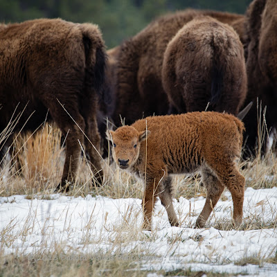 In My Own Words Baby Tatanka: A baby bison calf in Custer State Park by Dakota Visions Photography, LLC www.dakotavisions.com