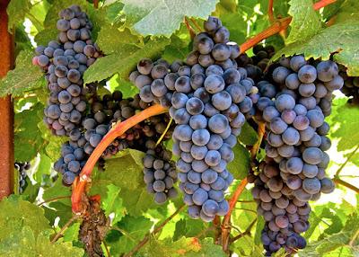 A uva Tannat