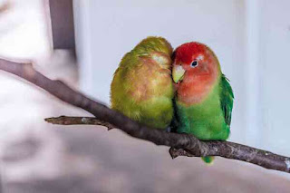 The true love story of parrot and maina