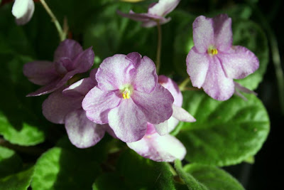 Focus on life: The beauty of flowers: The African Violet :: All Pretty Things