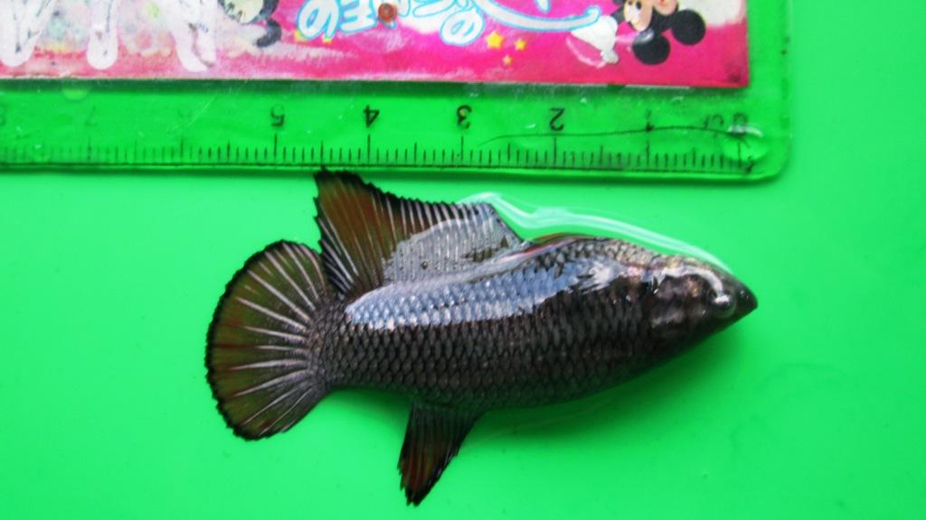 47 Gambar Ikan Cupang Jenis Jayen HD Terbaik