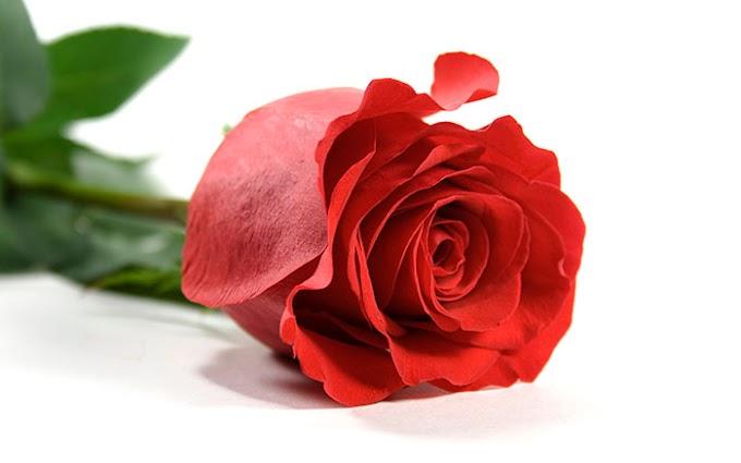 Khasiat Bunga Mawar Dan Zat yang Terkandung Di Dalamnya