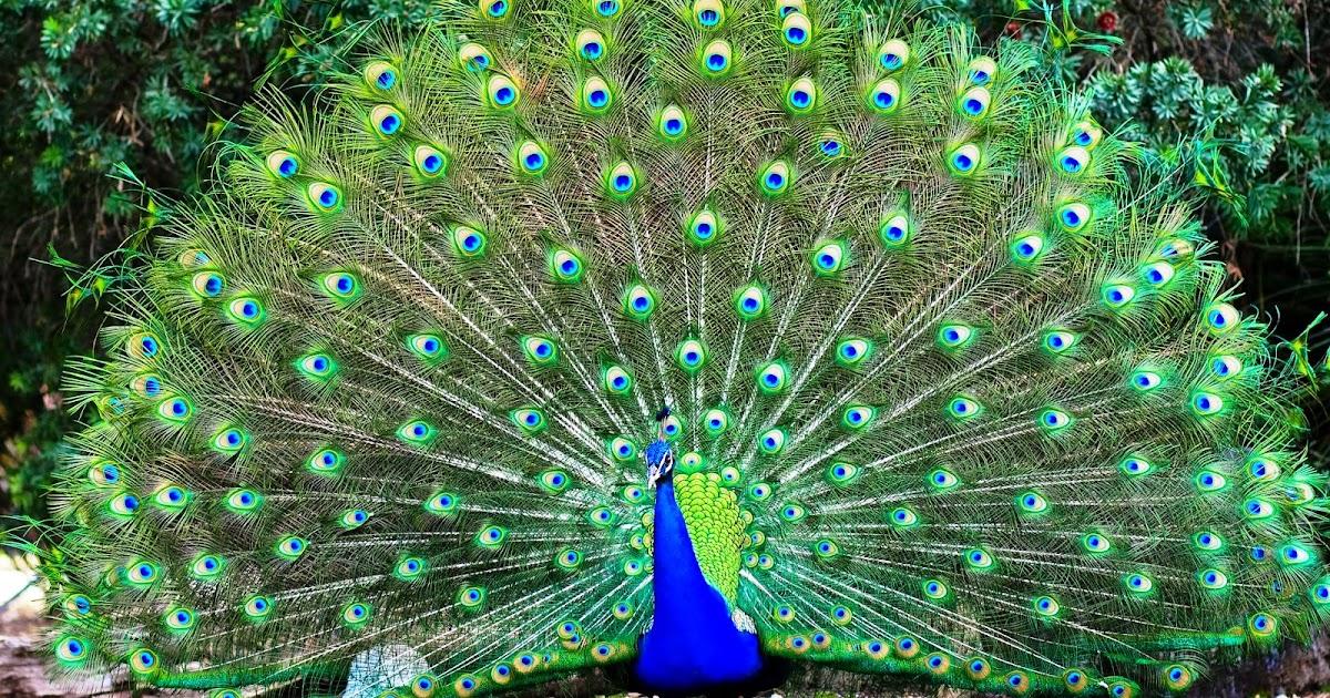88 Gambar Burung Merak Sketsa HD