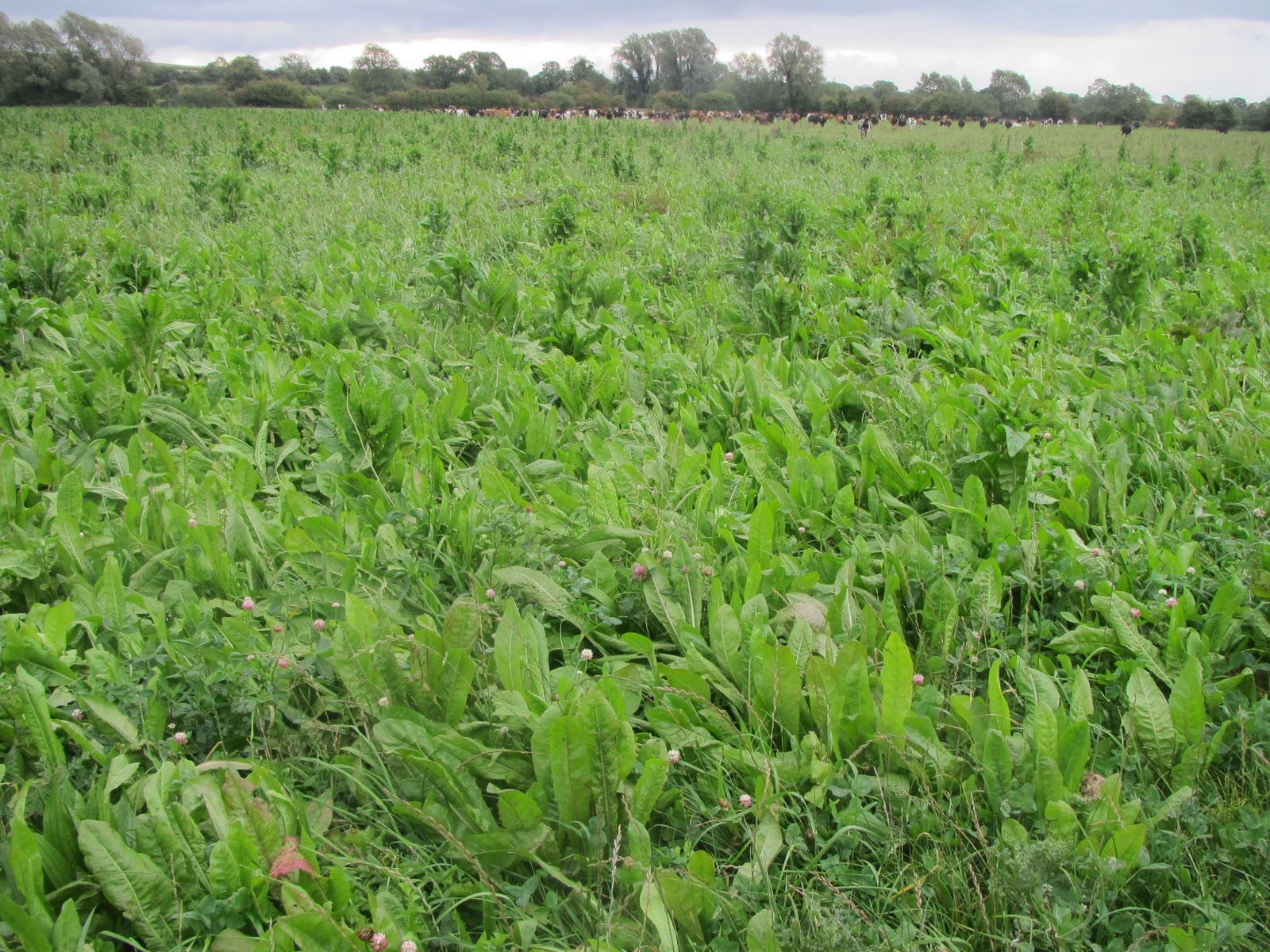 Pasture To Profit Herbal Clover Pastures Challenge Our