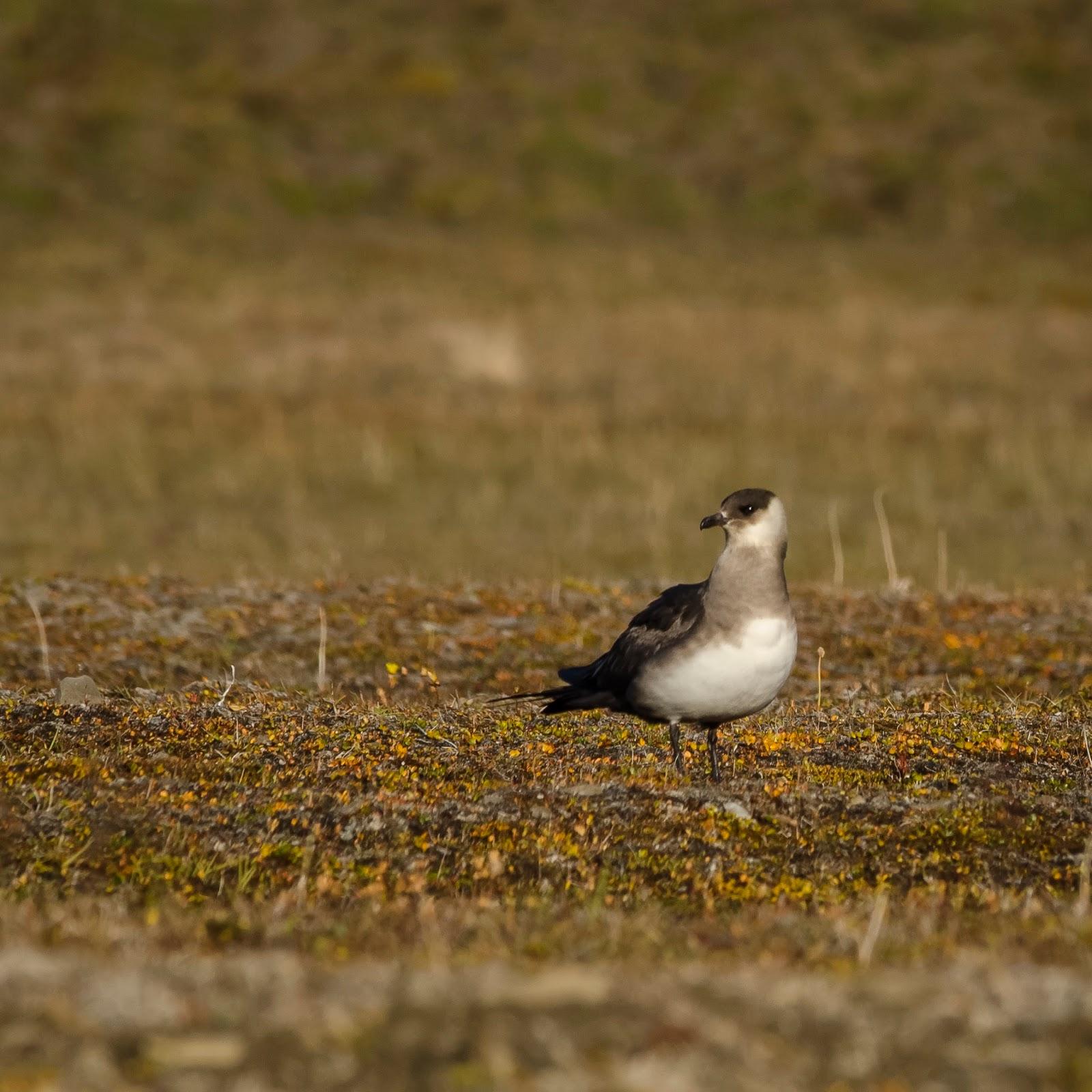 svalbard spitzberg randonnée oiseaux