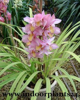 Cymbidium Hybrids Orchidaceae