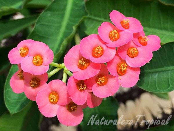Variedad naranja de la flor Coronita de Cristo, nombre popular de Euphorbia milii