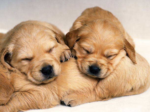 golden retriever pictures
