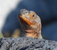 Lava Lizard on San Cristobal Island Galapagos