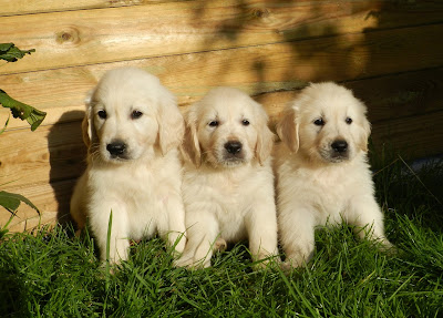 Golden Retriever Puppies by petsducky.com