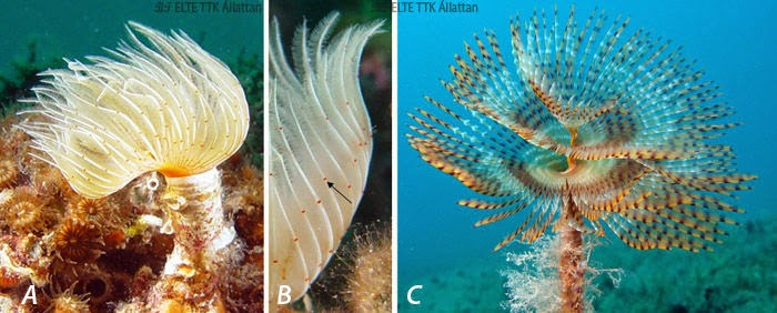 Tengeri férgek vis - Megtalálták a tenger leghangosabb állatát – egy férget