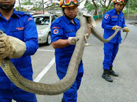 Ukuran King Kobra yang Tertangkap Ini Bikin Merinding