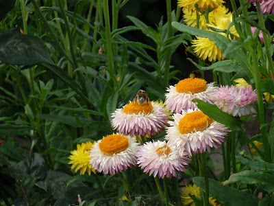 Straw daisies with pollen laden bee