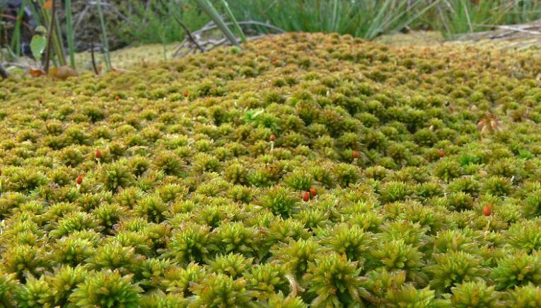Animales y Plantas de Per Musgo Blanco Sphagnum moss
