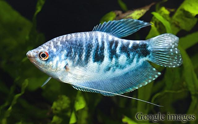 Trichopodus Trichopterus - Ikan Sepat