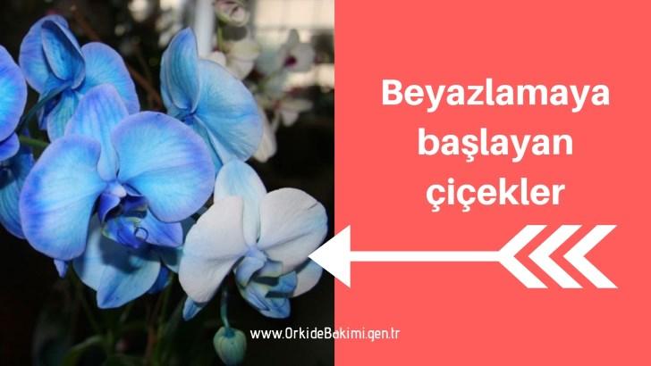 Mavi renkli orkide ne zaman beyazlar