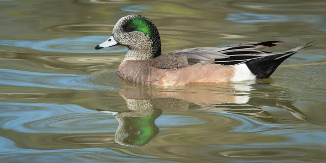 American Wigeon, Colleyville Nature Center