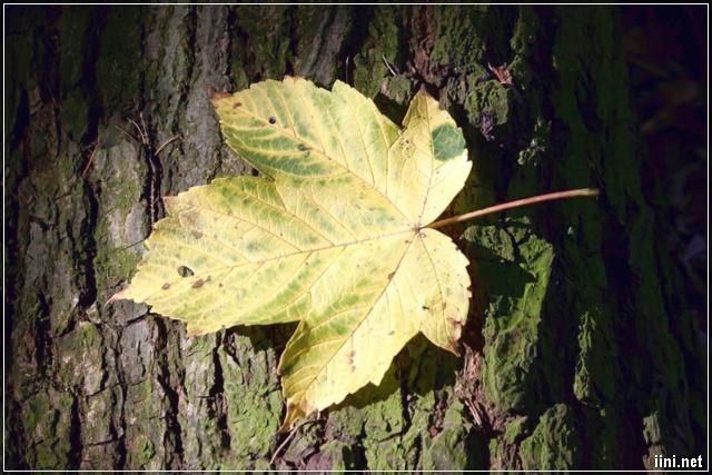 ảnh chiếc lá rụng mùa thu