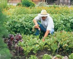 Como sembrar remolachas