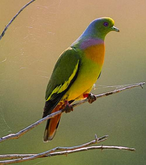Birds of India - Photo of Orange-breasted green pigeon - Treron bicinctus