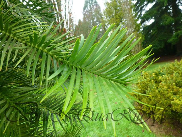 Botaniquarium - Wollemia nobilis foliage