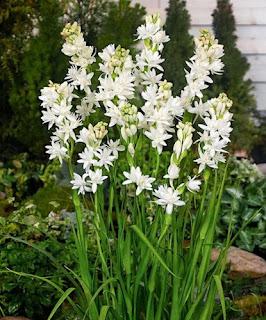 bunga-sedap-malam-surabaya