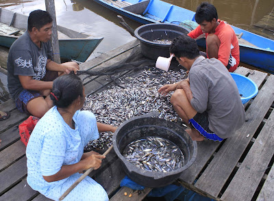 fish of danau Sentarum Lake in heart of Borneo